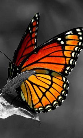 13014 descargar fondo de pantalla Mariposas, Insectos: protectores de pantalla e imágenes gratis