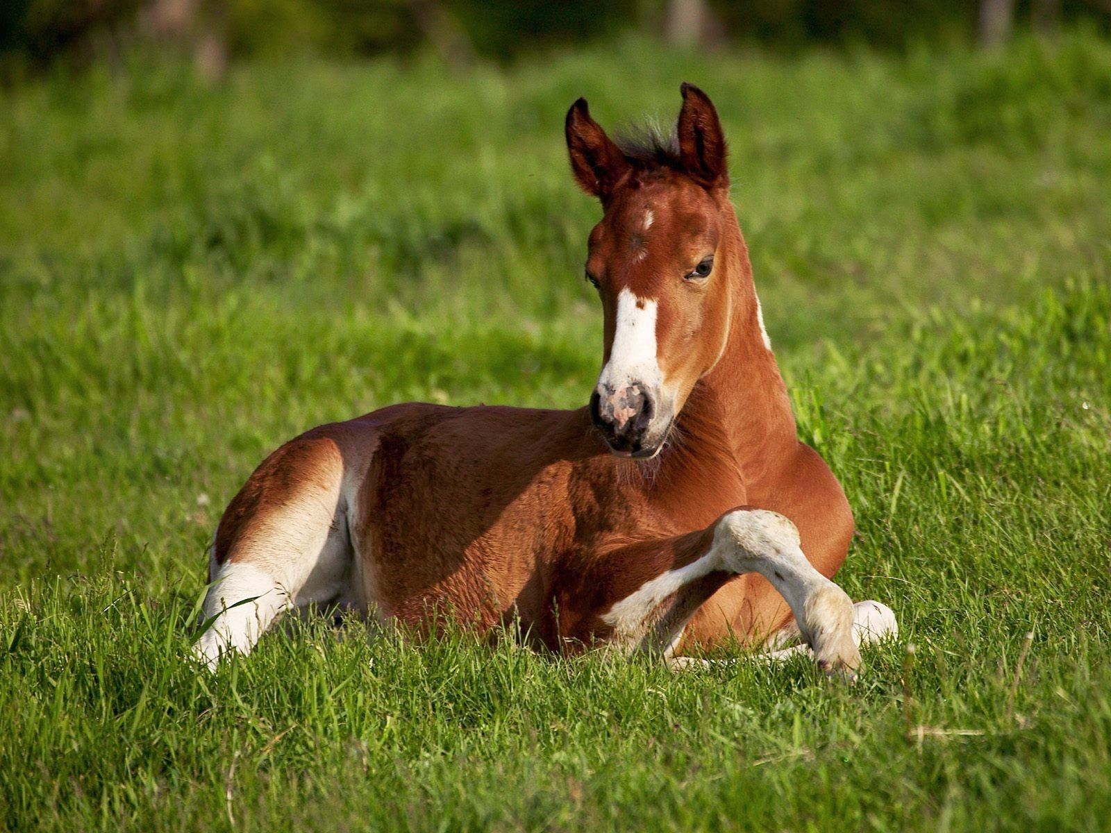 149234 download wallpaper Animals, Horse, Stallion, Grass, To Lie Down, Lie screensavers and pictures for free