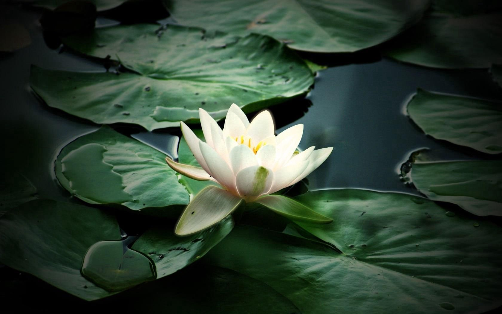 127004 download wallpaper Flowers, Water, Leaves, Swamp, Water Lily screensavers and pictures for free