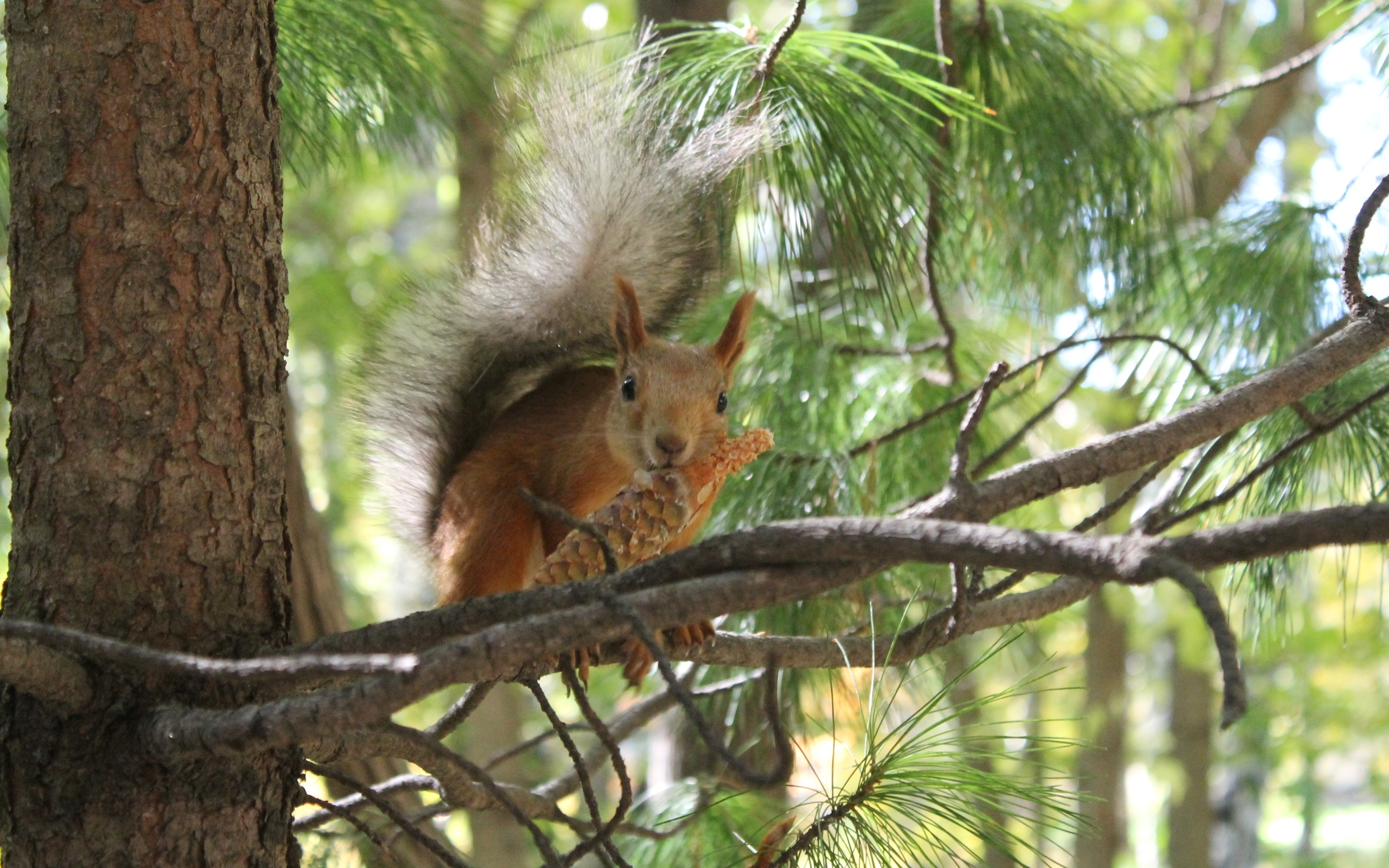 41656 download wallpaper Animals, Squirrel screensavers and pictures for free