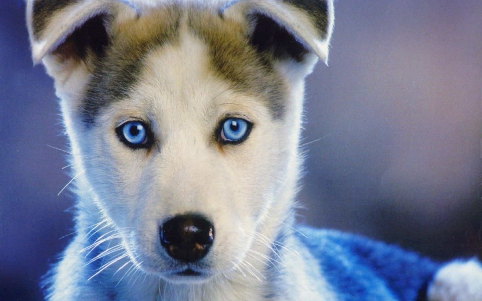 78900 Screensavers and Wallpapers Puppy for phone. Download Husky, Animals, Puppy, Kid, Tot, Haska, Blue Eyed, Blue-Eyed pictures for free