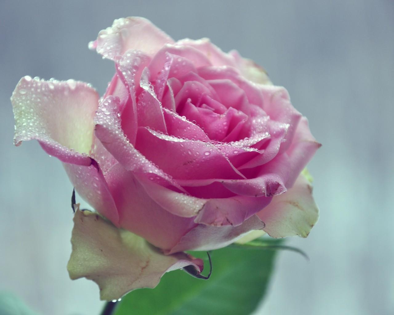45197 скачать обои Растения, Цветы, Розы - заставки и картинки бесплатно