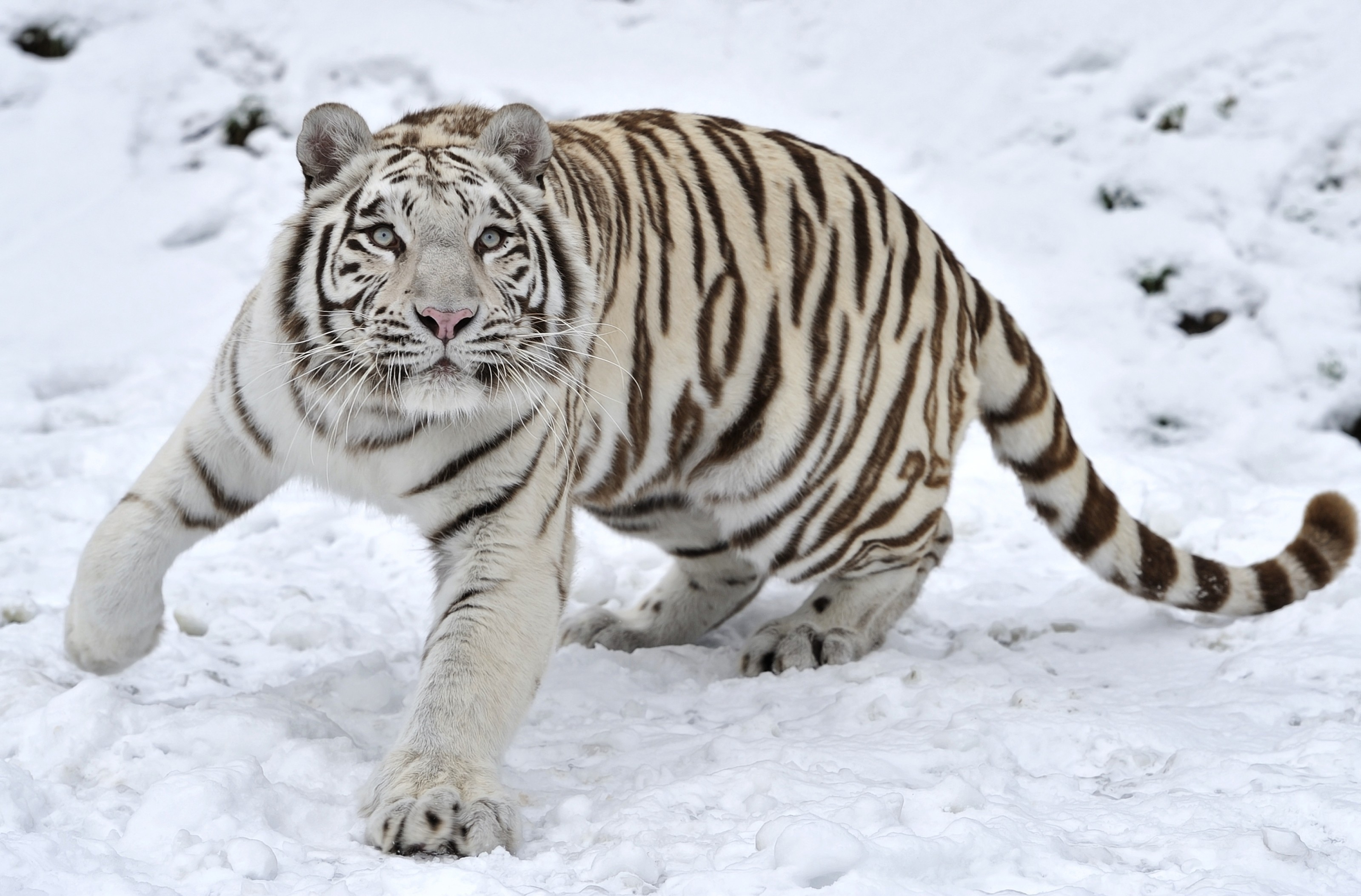 86875 download wallpaper Animals, Winter, Snow, Tiger, Albino screensavers and pictures for free