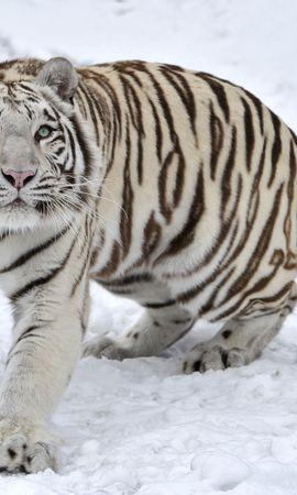 86875 免費下載壁紙 动物, 老虎, 虎, 白化病, 阿尔比诺斯, 雪, 冬天 屏保和圖片