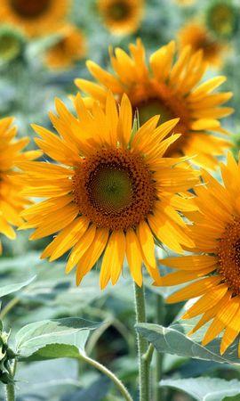 47124 baixar papel de parede Plantas, Flores - protetores de tela e imagens gratuitamente