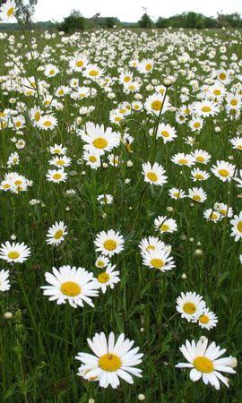 635 скачать обои Растения, Пейзаж, Цветы, Поля, Ромашки - заставки и картинки бесплатно