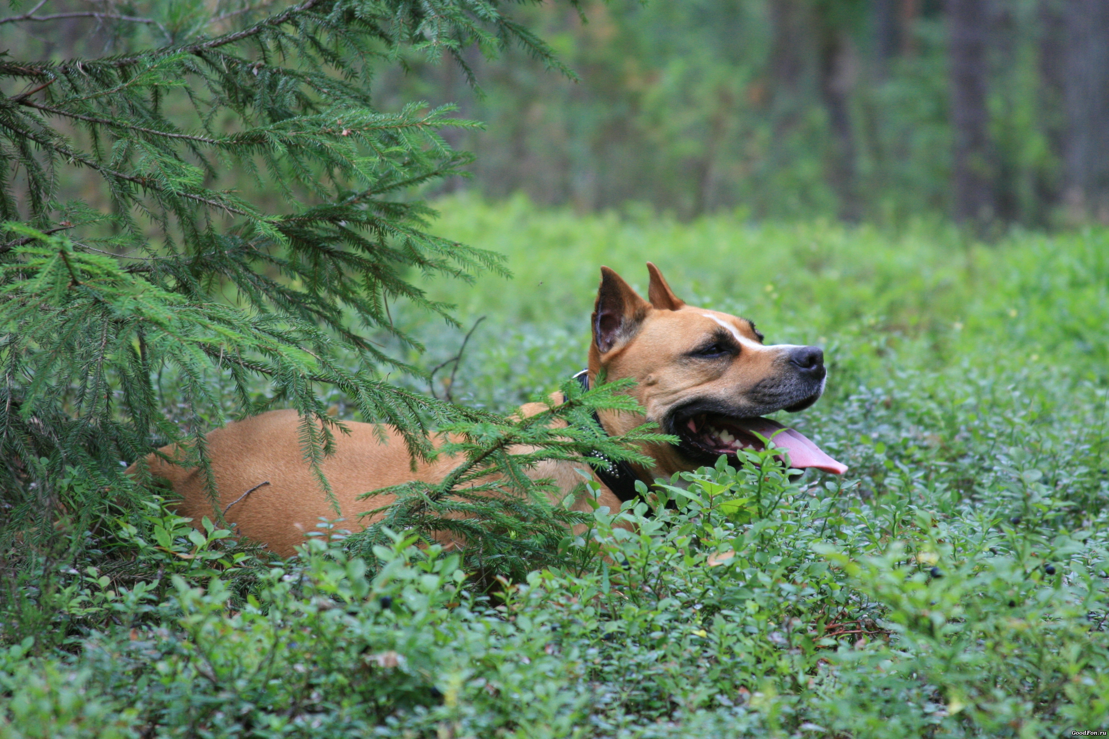 149680 download wallpaper Animals, Dog, Staffordshire Terrier, Lies, Forest, Spruce, Fir screensavers and pictures for free
