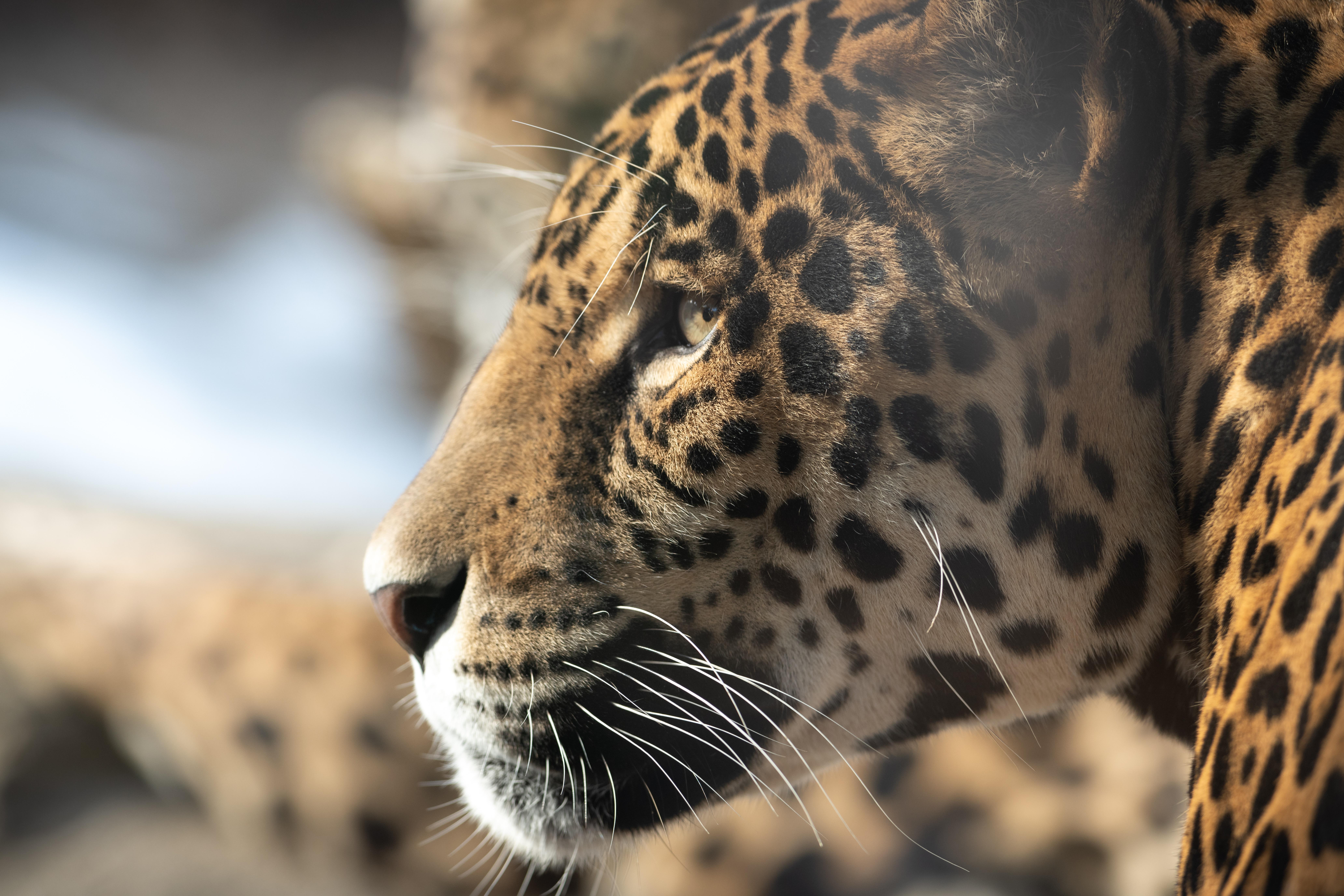 91110 papel de parede 1080x2400 em seu telefone gratuitamente, baixe imagens Animais, Jaguar, Focinho, Gato Grande, Visão, Opinião, Perfil 1080x2400 em seu celular