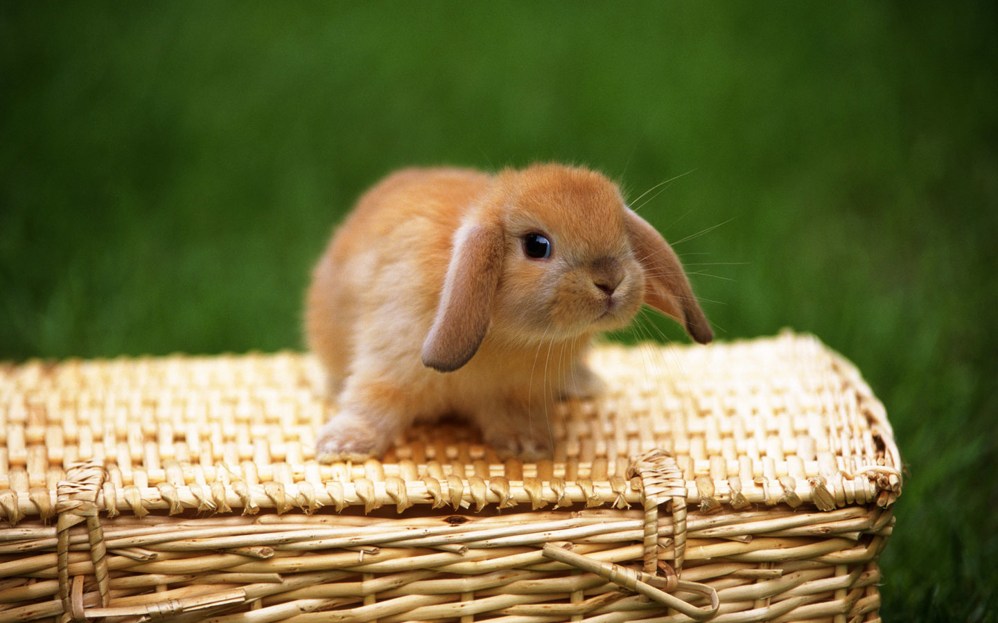 38675 download wallpaper Animals, Rabbits screensavers and pictures for free