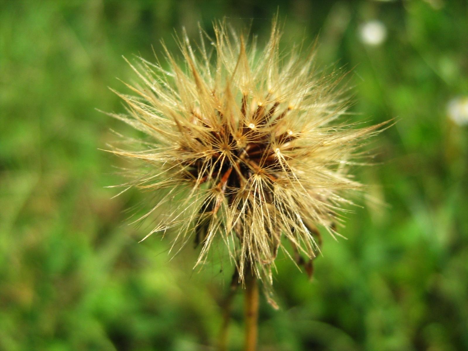 Скачать картинку Одуванчики, Растения в телефон бесплатно.
