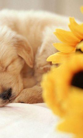 123865壁紙のダウンロード動物, 子犬, 睡眠, 夢, 甘い, 花束, ブーケ, フラワーズ-スクリーンセーバーと写真を無料で