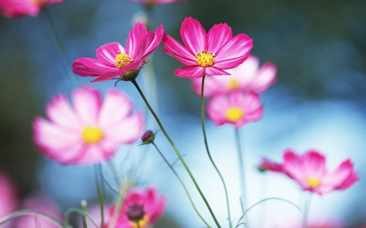 6654 скачать обои Растения, Цветы - заставки и картинки бесплатно