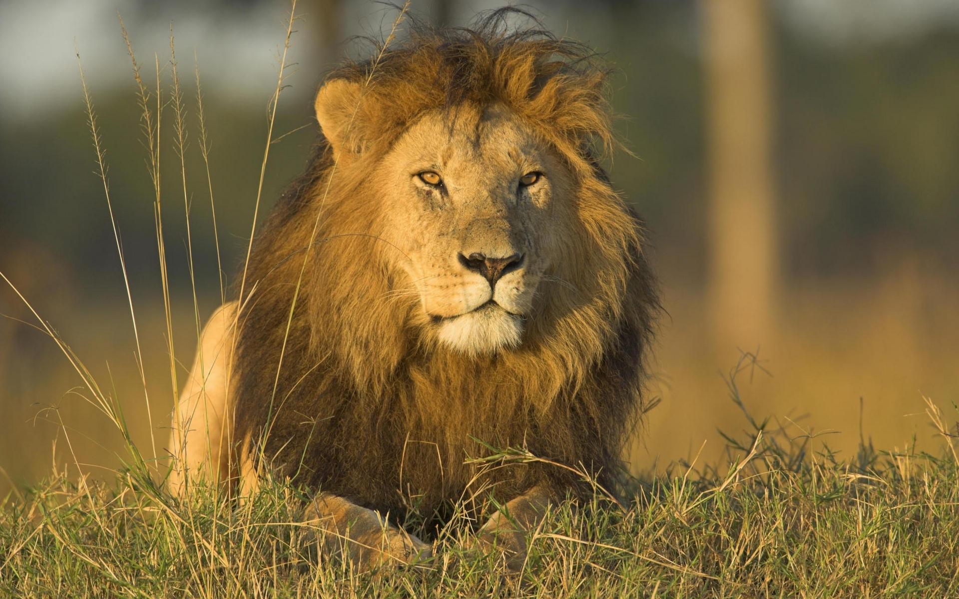 46376 скачать обои Животные, Львы - заставки и картинки бесплатно