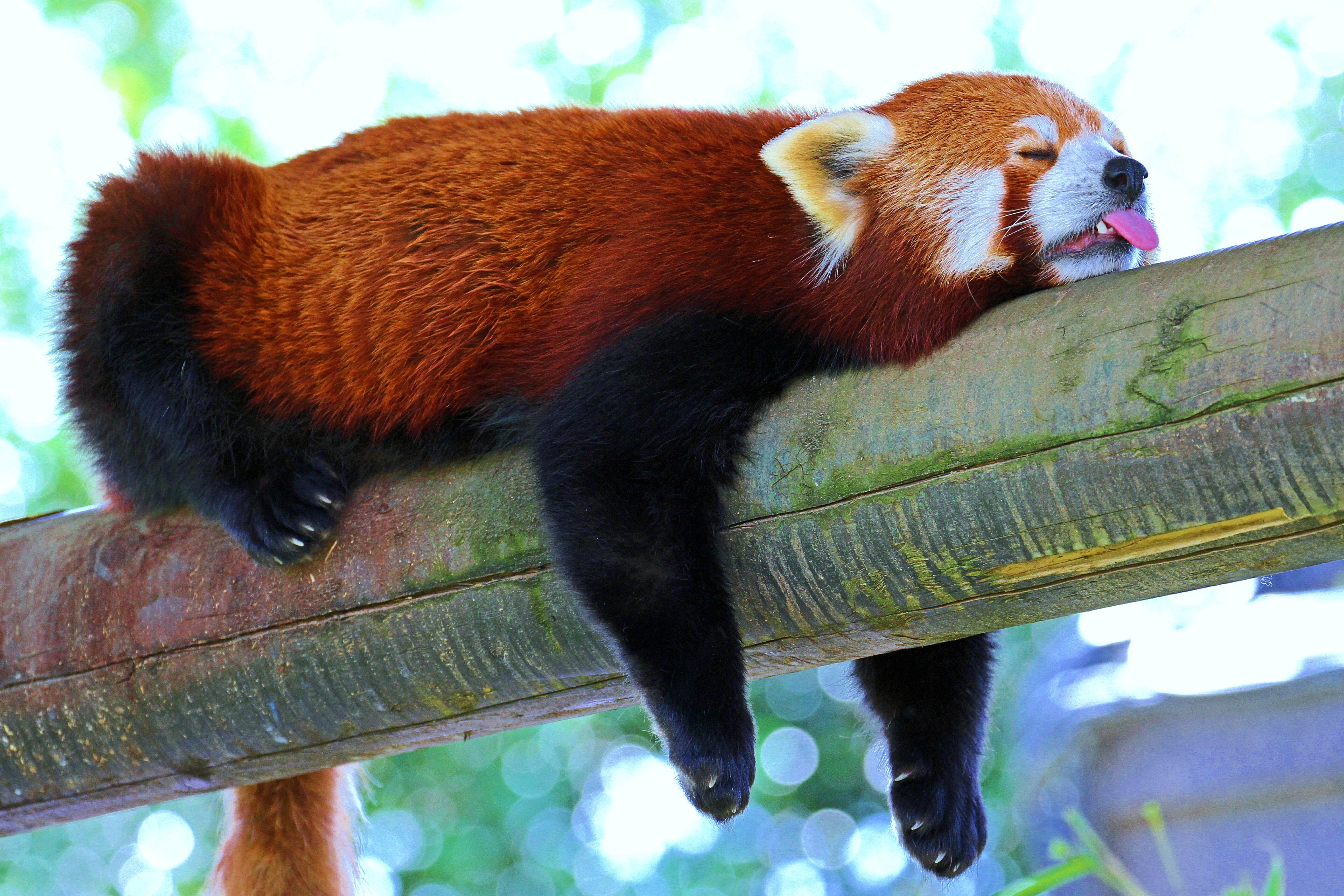 60324 download wallpaper Animals, Panda, Little Panda, Small Panda, Red Panda, Branch, Relaxation, Rest, Sleep, Dream screensavers and pictures for free