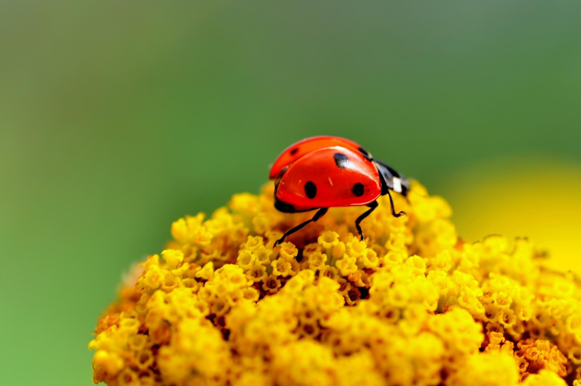 43709 descargar fondo de pantalla Insectos, Mariquitas: protectores de pantalla e imágenes gratis