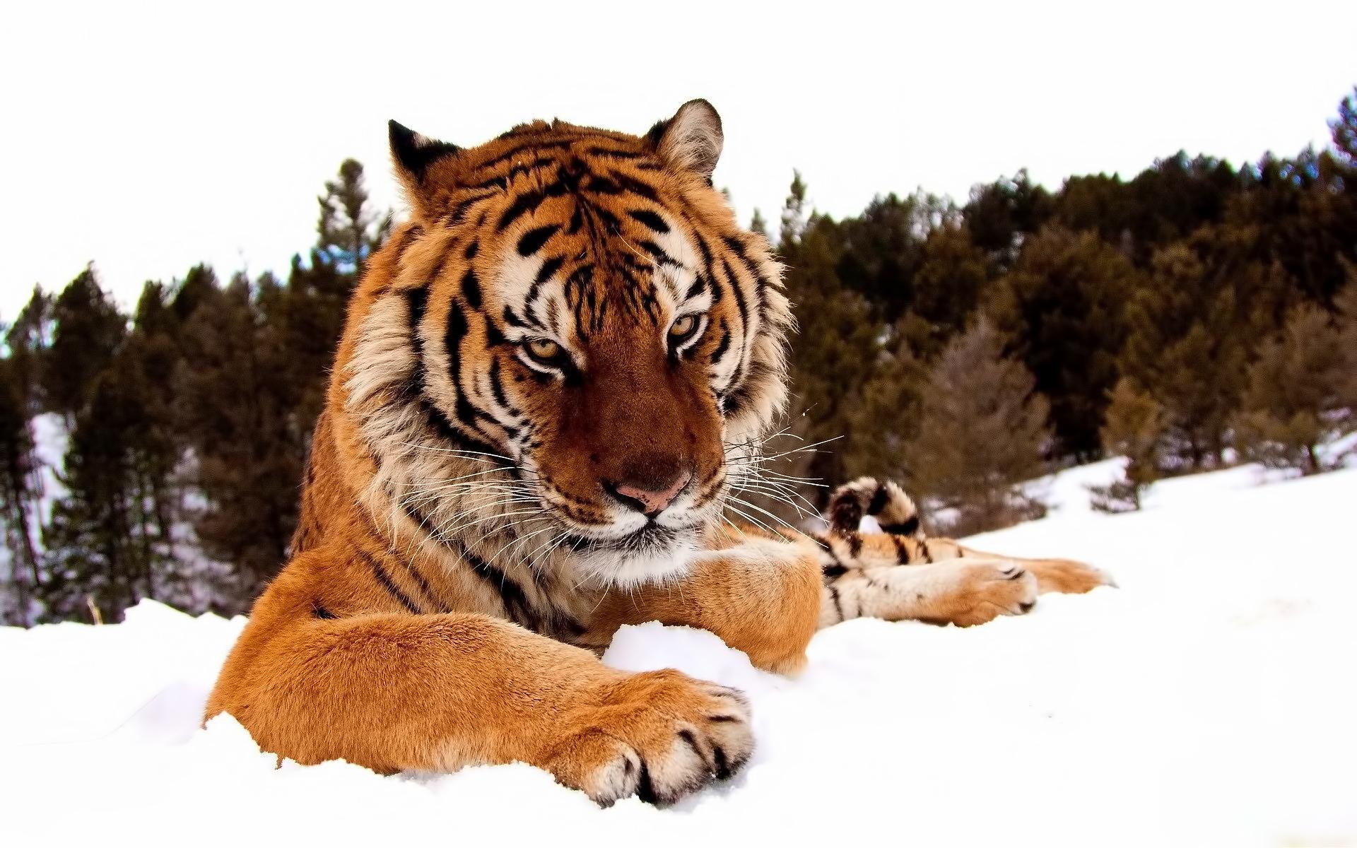 39915 Заставки и Обои Тигры на телефон. Скачать Животные, Тигры картинки бесплатно