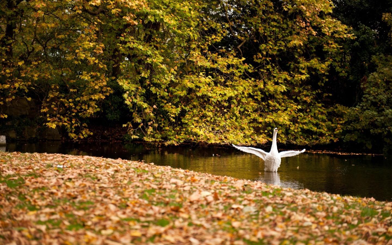 19918 скачать обои Животные, Птицы, Осень, Листья, Лебеди - заставки и картинки бесплатно