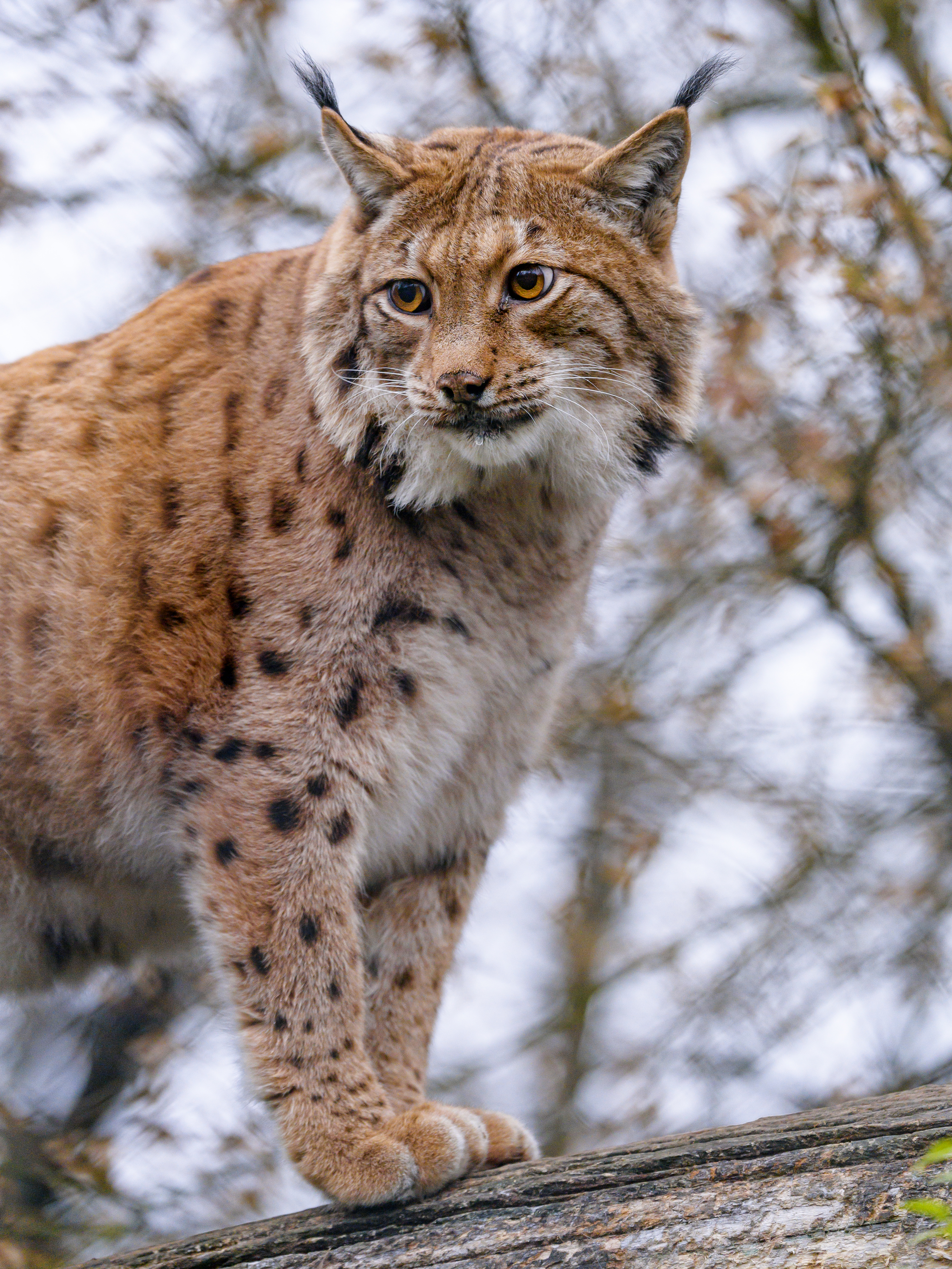 85050 download wallpaper Animals, Iris, Brown, Big Cat, Wildlife, Animal screensavers and pictures for free