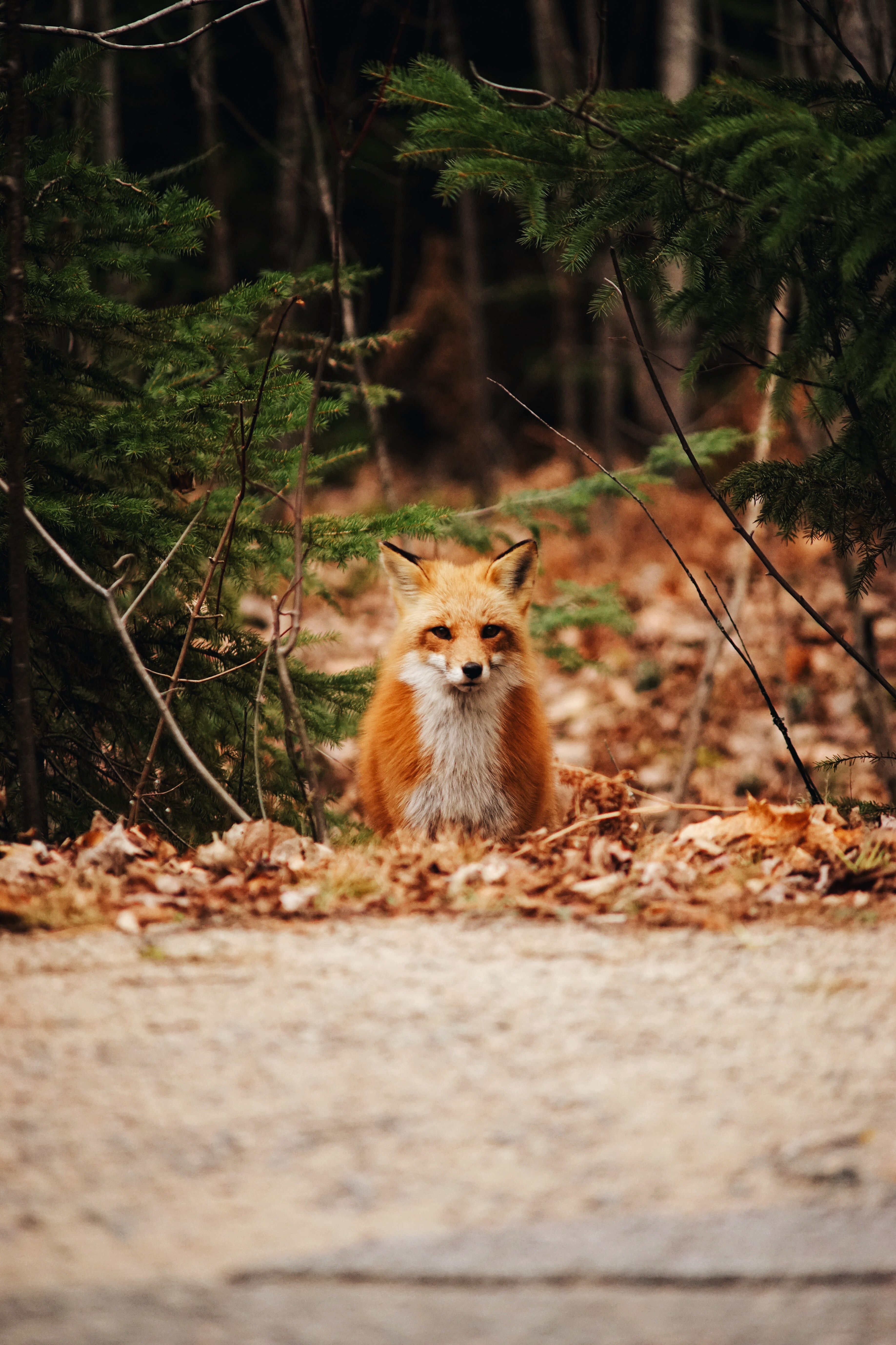 53993 download wallpaper Animals, Fox, Predator, Forest, Leaves, Autumn screensavers and pictures for free