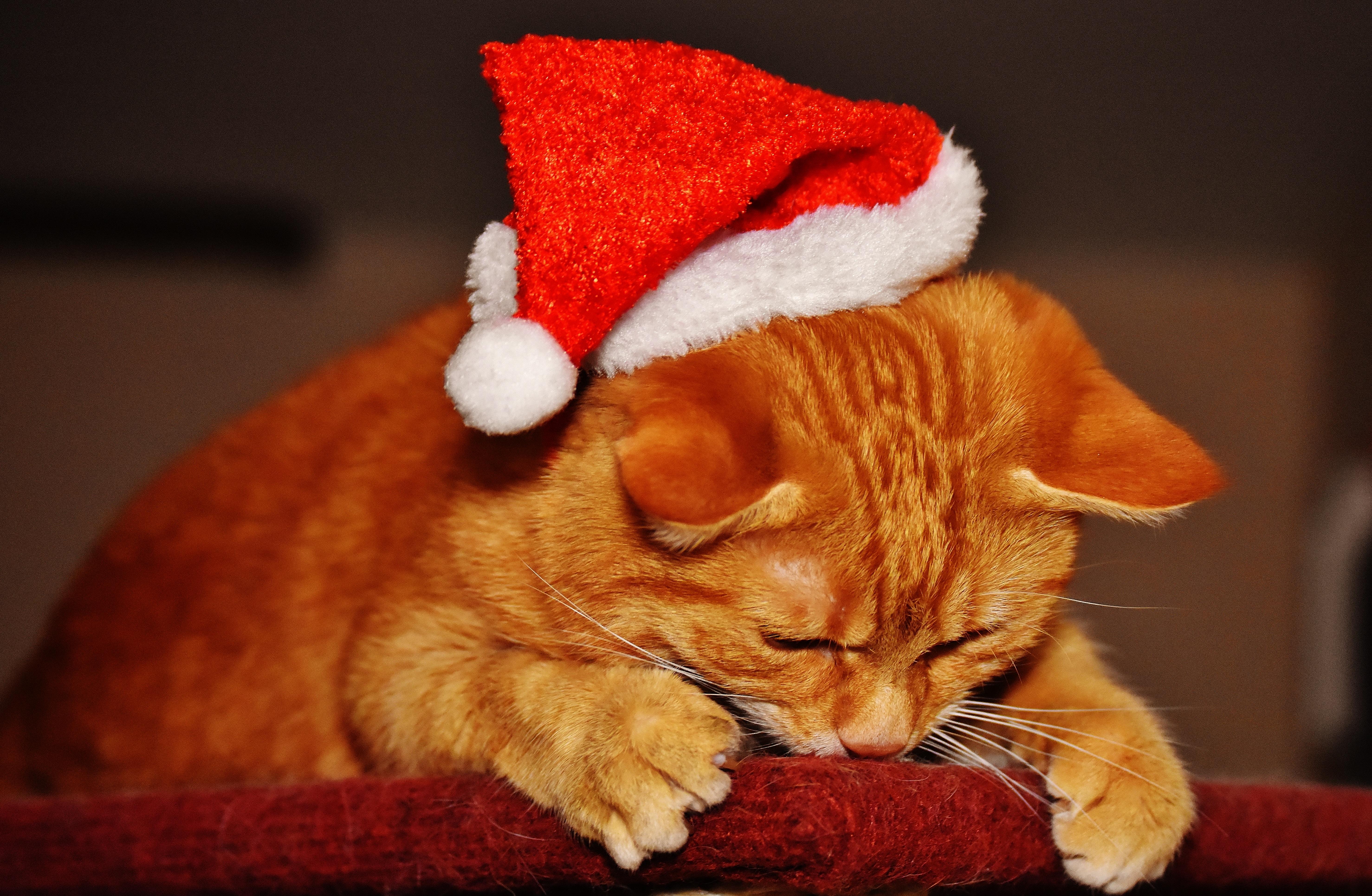 123345 Hintergrundbild herunterladen Tiere, Neujahr, Weihnachtsmann, Der Kater, Katze, Neues Jahr, Deckel, Cap - Bildschirmschoner und Bilder kostenlos