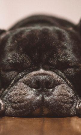 108556壁紙のダウンロード動物, フレンチ・ブルドッグ, フレンチブルドッグ, 犬, 黒い, 睡眠, 夢, ニース, 恋人-スクリーンセーバーと写真を無料で