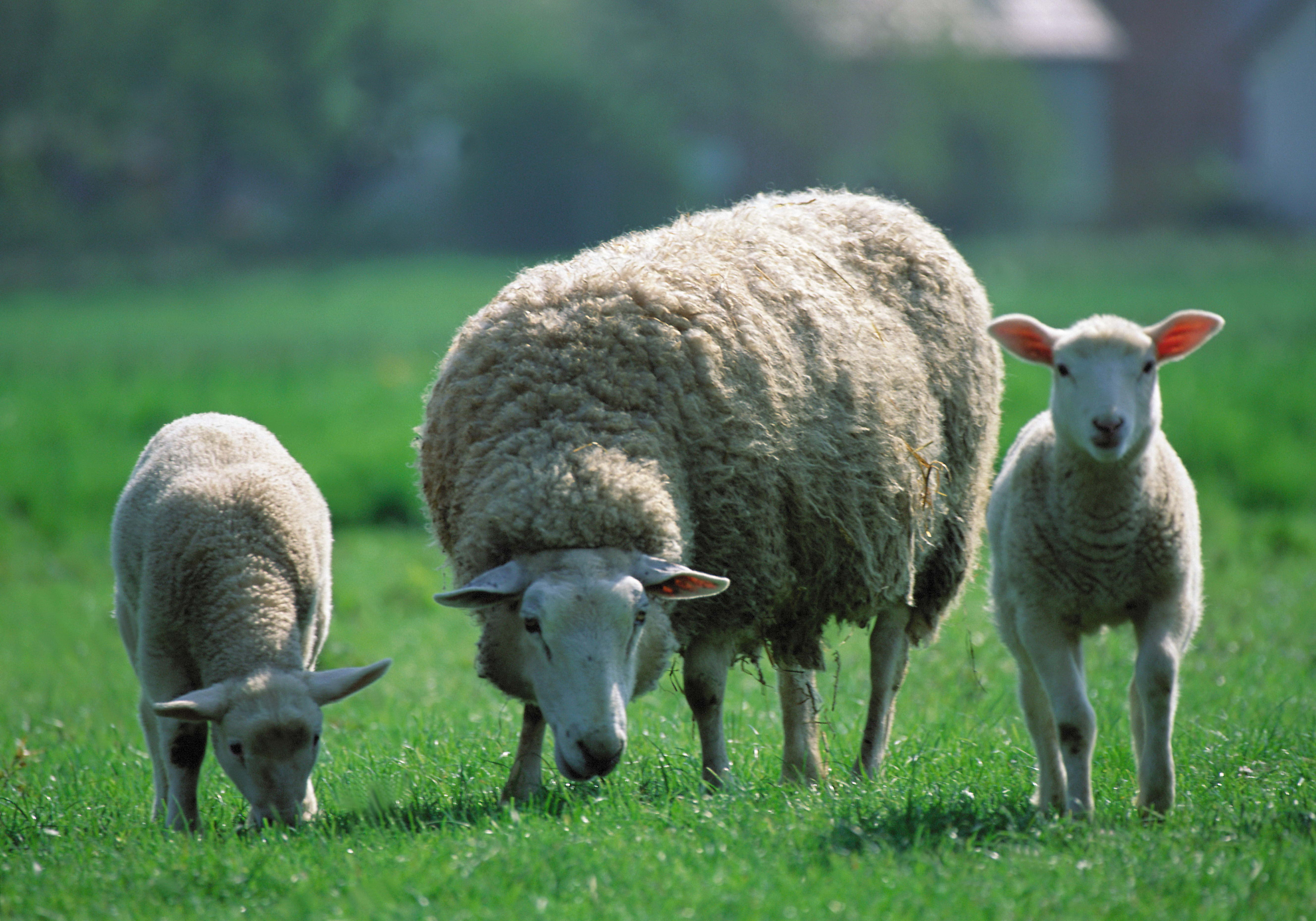95654 Screensavers and Wallpapers Sheep for phone. Download Animals, Children, Three, Sheep, Pasture, Sheeps pictures for free