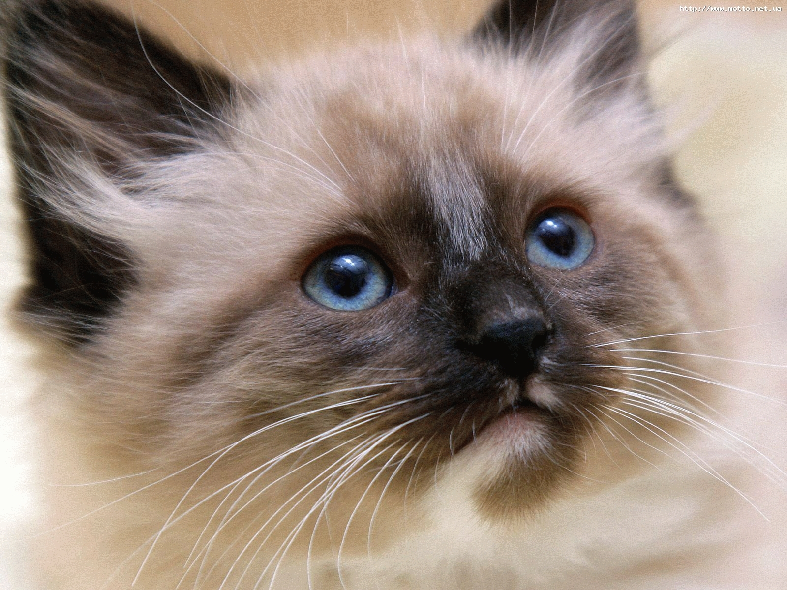 6615 download wallpaper Animals, Cats screensavers and pictures for free