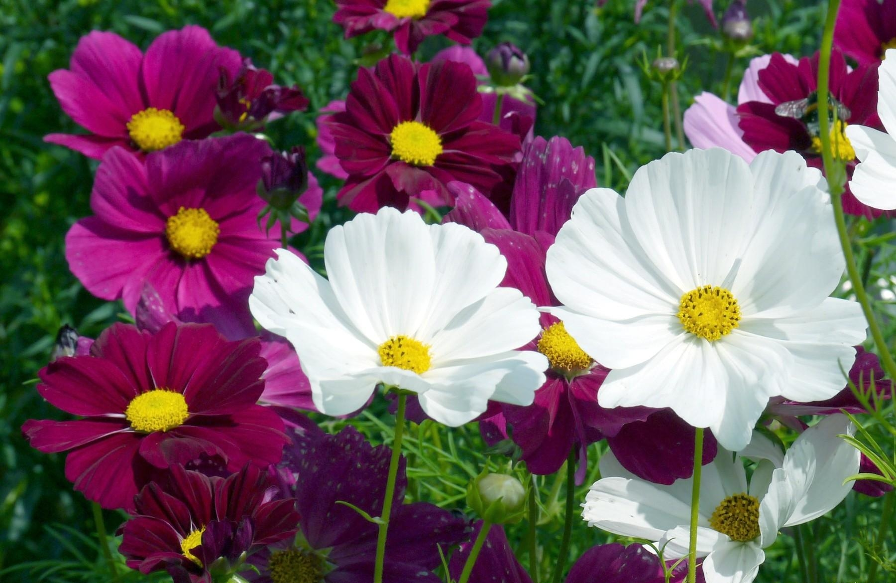 126923 скачать обои Яркие, Цветы, Лето, Клумба, Космея - заставки и картинки бесплатно