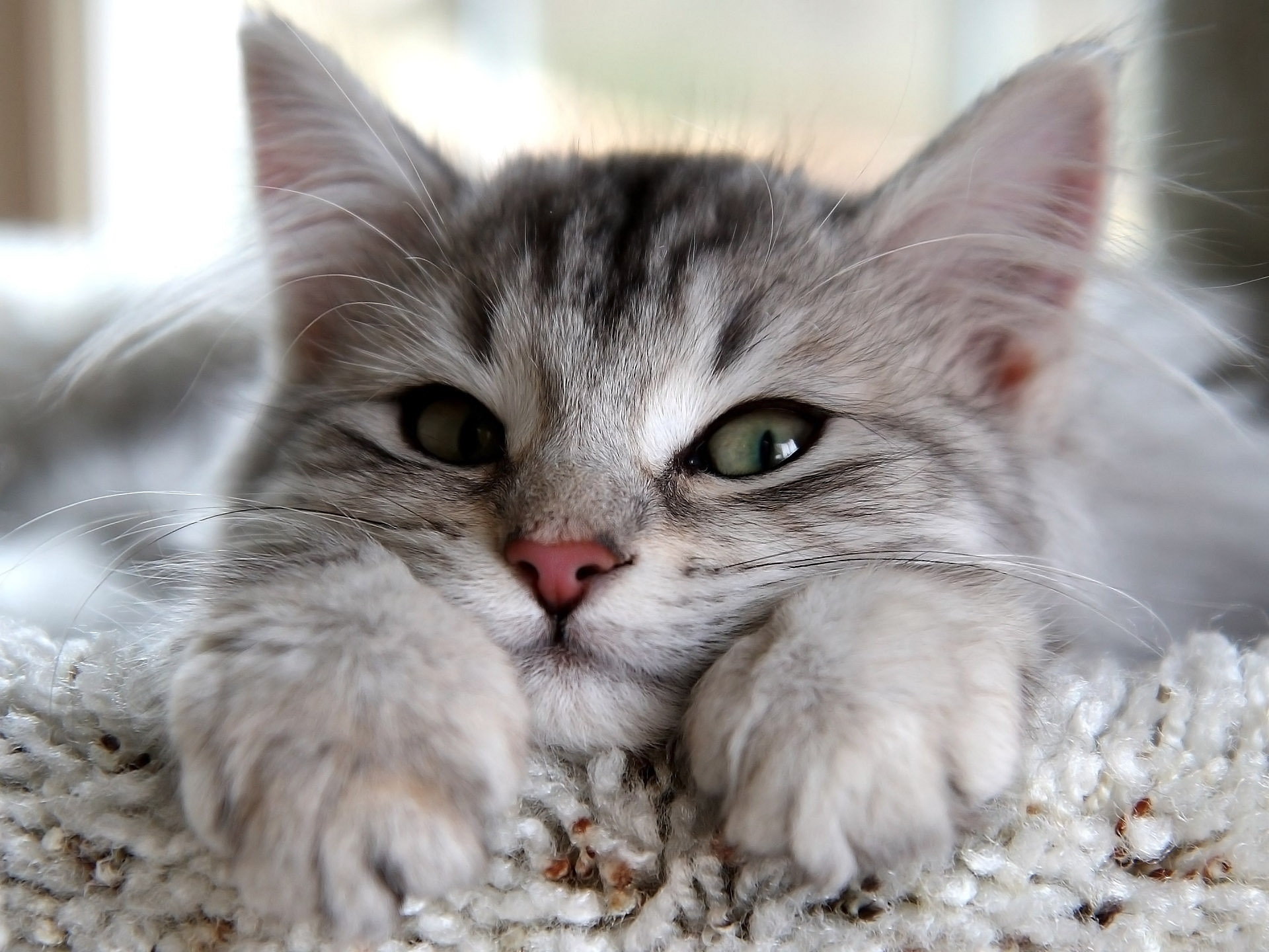 134744 Screensavers and Wallpapers Nice for phone. Download Animals, Fluffy, Kitty, Kitten, To Lie Down, Lie, Muzzle, Sight, Opinion, Nice, Sweetheart, Paws pictures for free