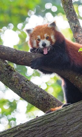 139030 download wallpaper Animals, Red Panda, Panda, Animal, Funny, Wood, Tree screensavers and pictures for free