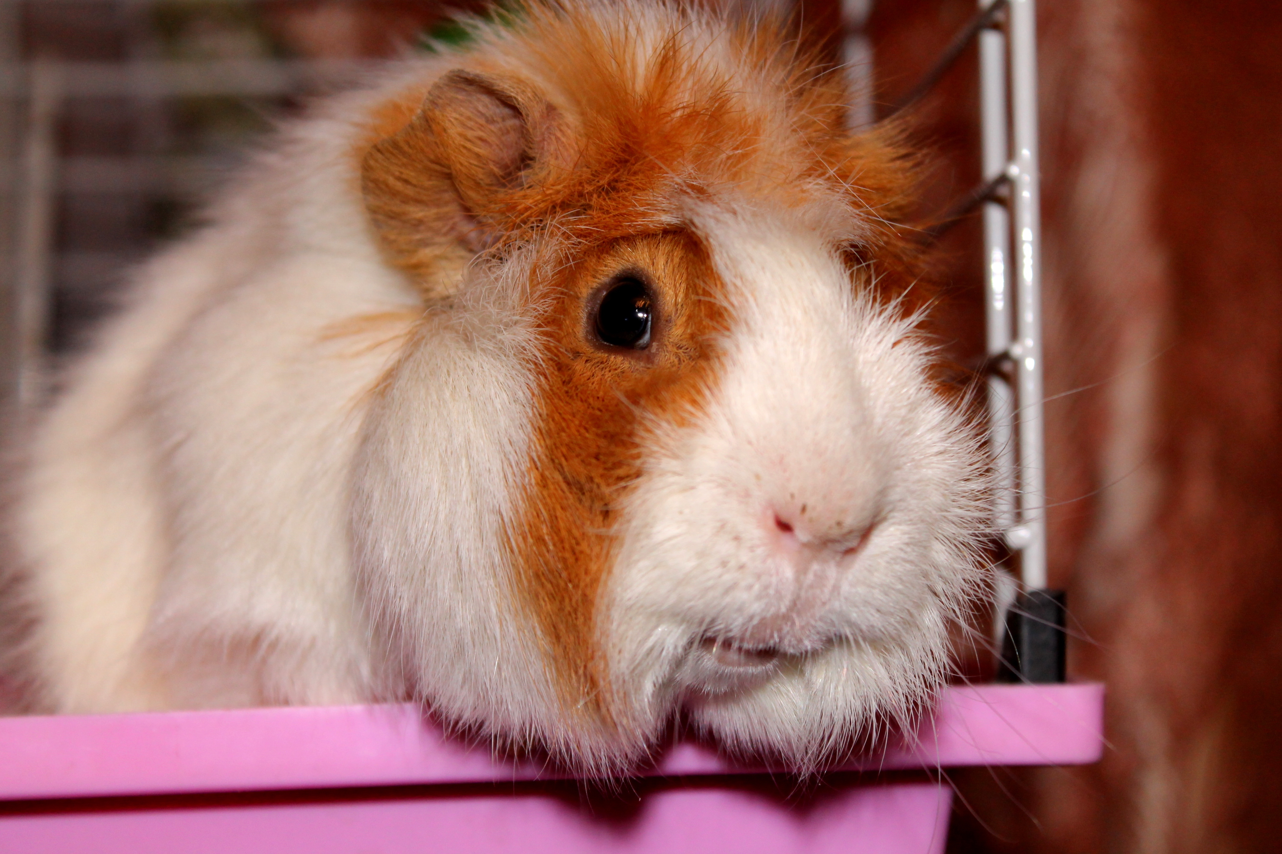19159 download wallpaper Animals, Hamsters screensavers and pictures for free