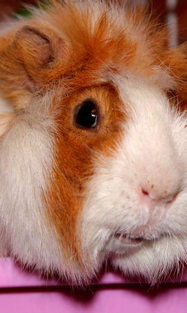 19159 baixar papel de parede Animais, Hamsters - protetores de tela e imagens gratuitamente