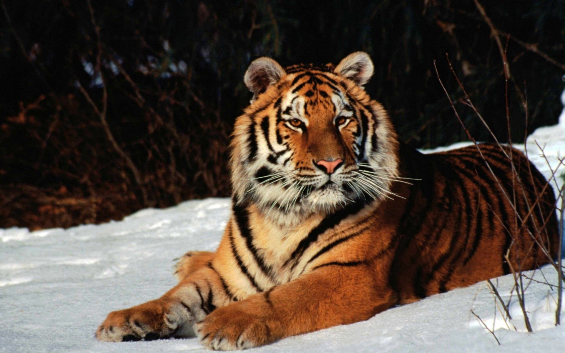 52430 download wallpaper Animals, Tiger, Snow, To Lie Down, Lie, Predator screensavers and pictures for free
