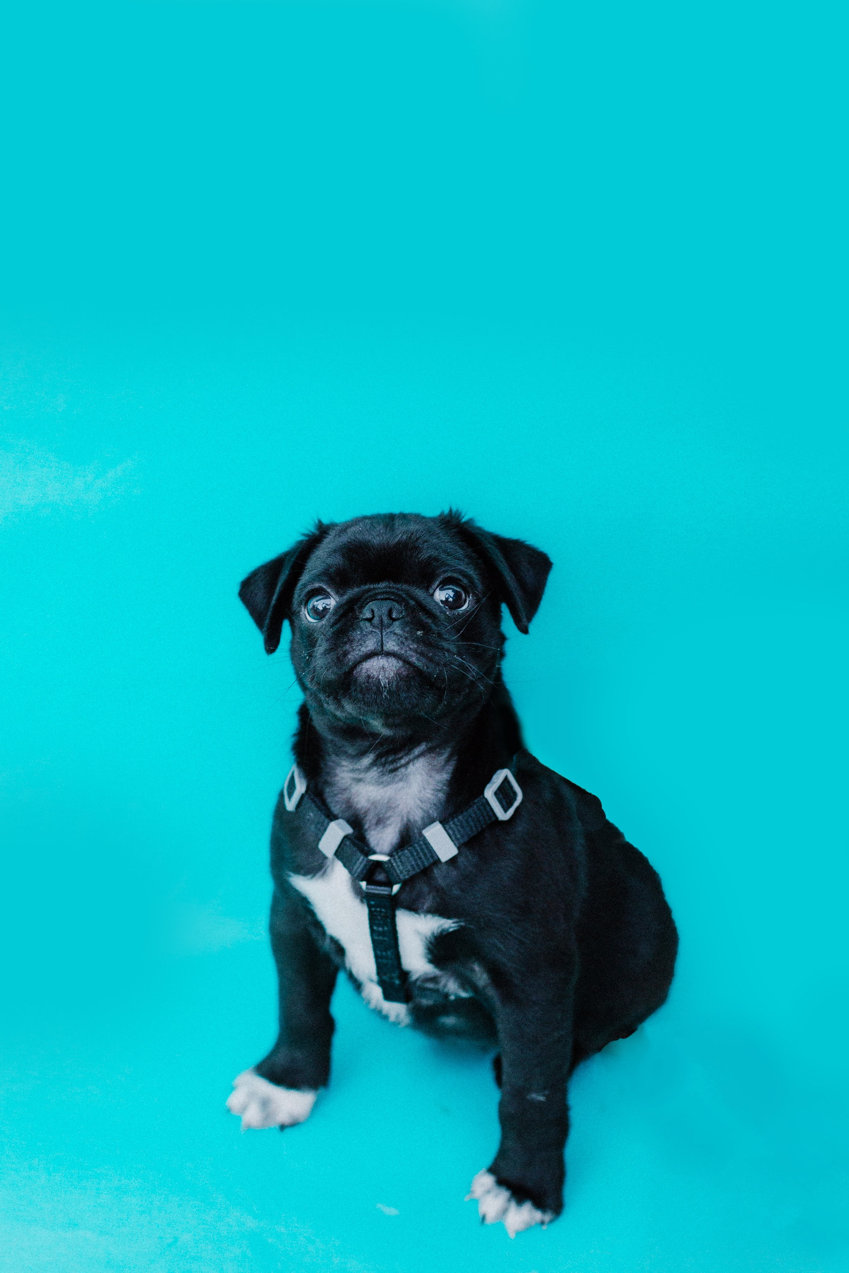 102882 download wallpaper Animals, Pug, Dog, Sight, Opinion, Funny screensavers and pictures for free