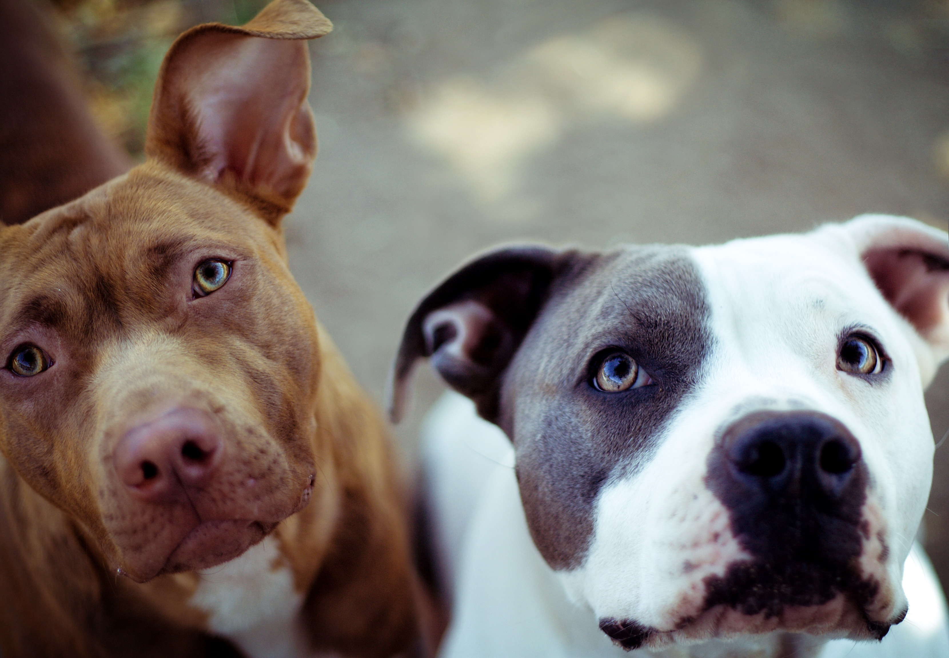 80710 download wallpaper Animals, Dogs, Muzzle, Couple, Pair screensavers and pictures for free