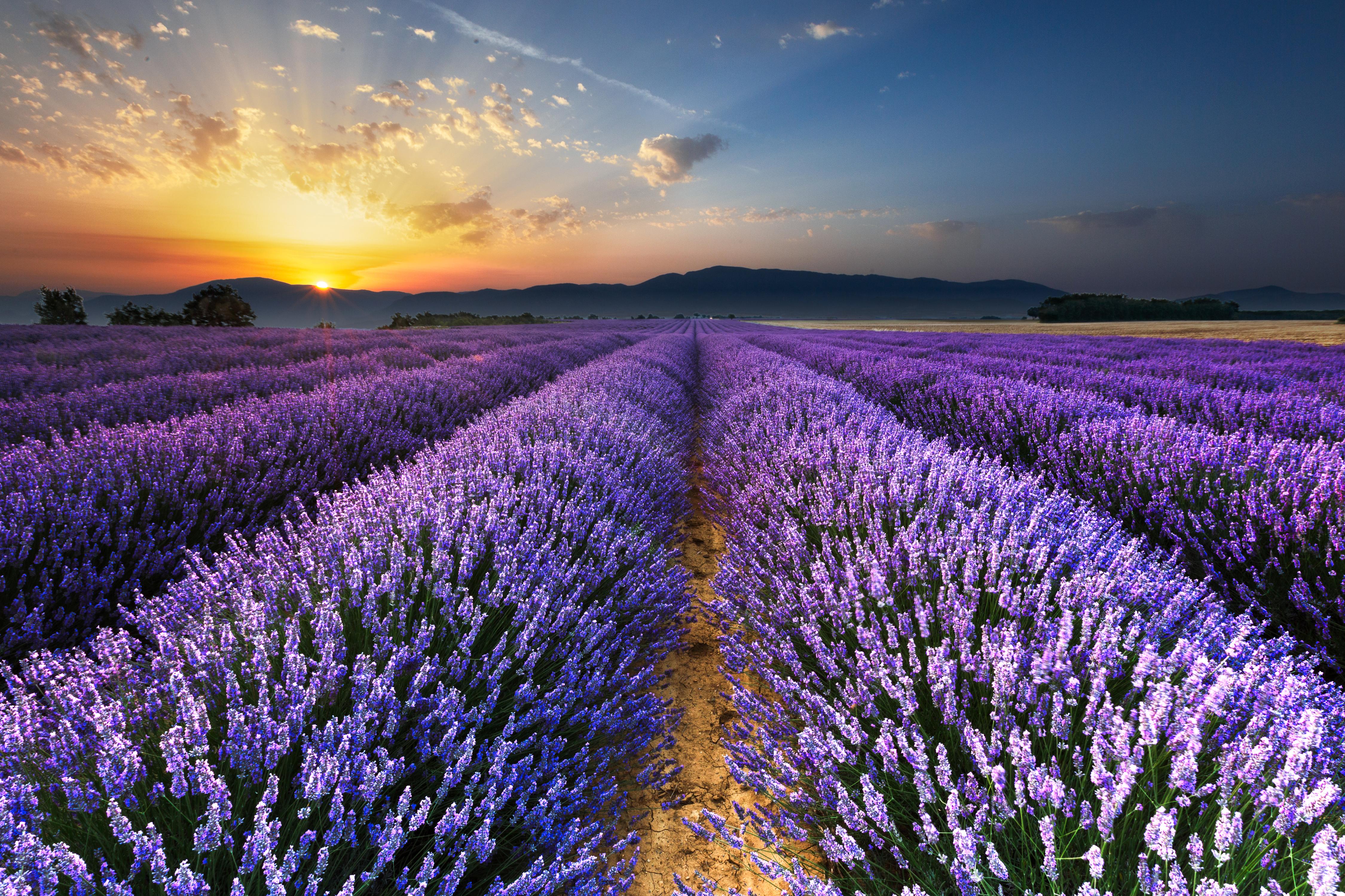52836 Hintergrundbild herunterladen Lavendel, Feld, Natur, Blumen, Horizont - Bildschirmschoner und Bilder kostenlos