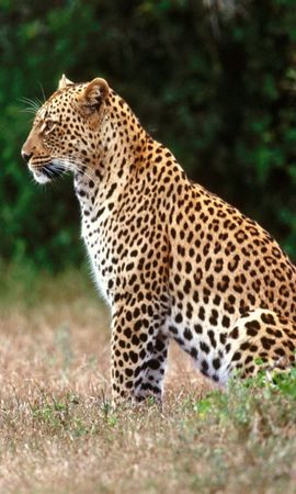 7810 download wallpaper Animals, Leopards screensavers and pictures for free