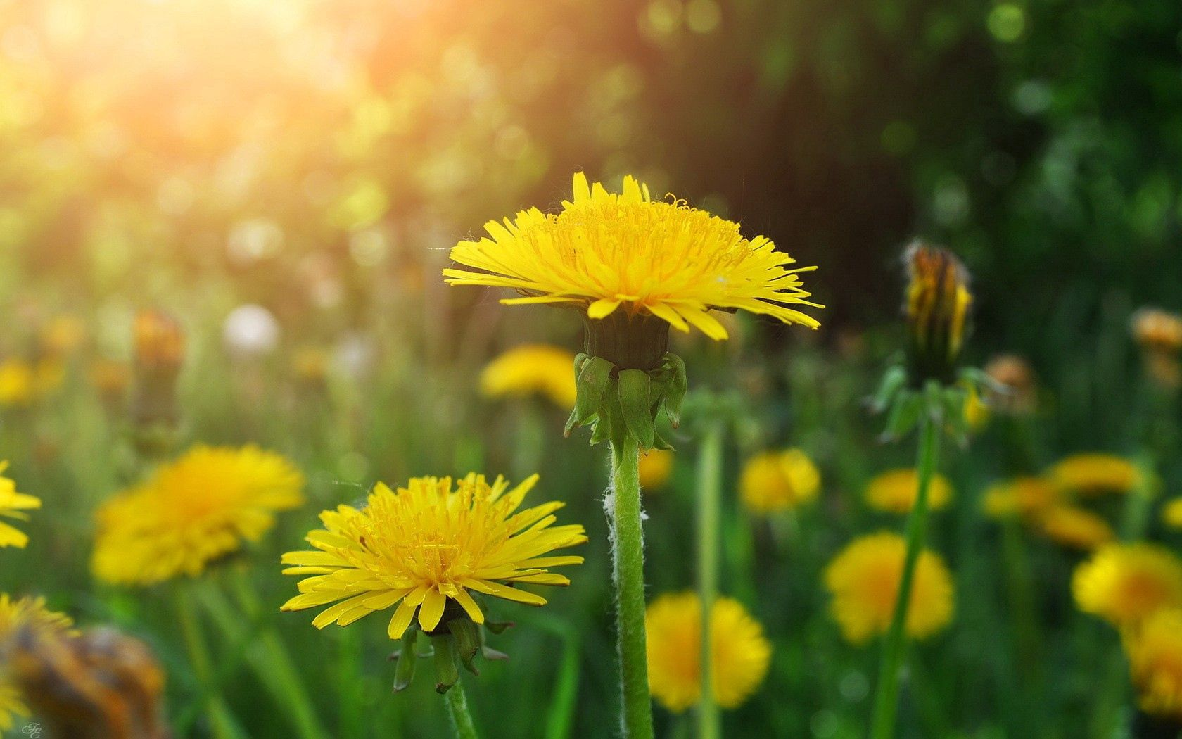 86244 download wallpaper Flowers, Dandelions, Close-Up, Greens, Polyana, Glade screensavers and pictures for free