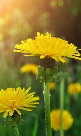 86244 скачать обои Цветы, Одуванчики, Поляна, Зелень, Крупный План - заставки и картинки бесплатно