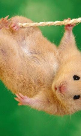 40524 baixar papel de parede Animais, Hamsters - protetores de tela e imagens gratuitamente