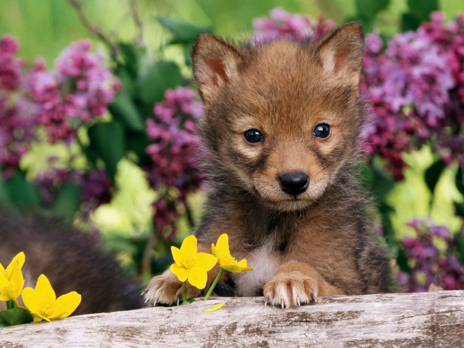 80168 download wallpaper Animals, Puppy, Grass, Wolf, Young, Joey, Dog screensavers and pictures for free