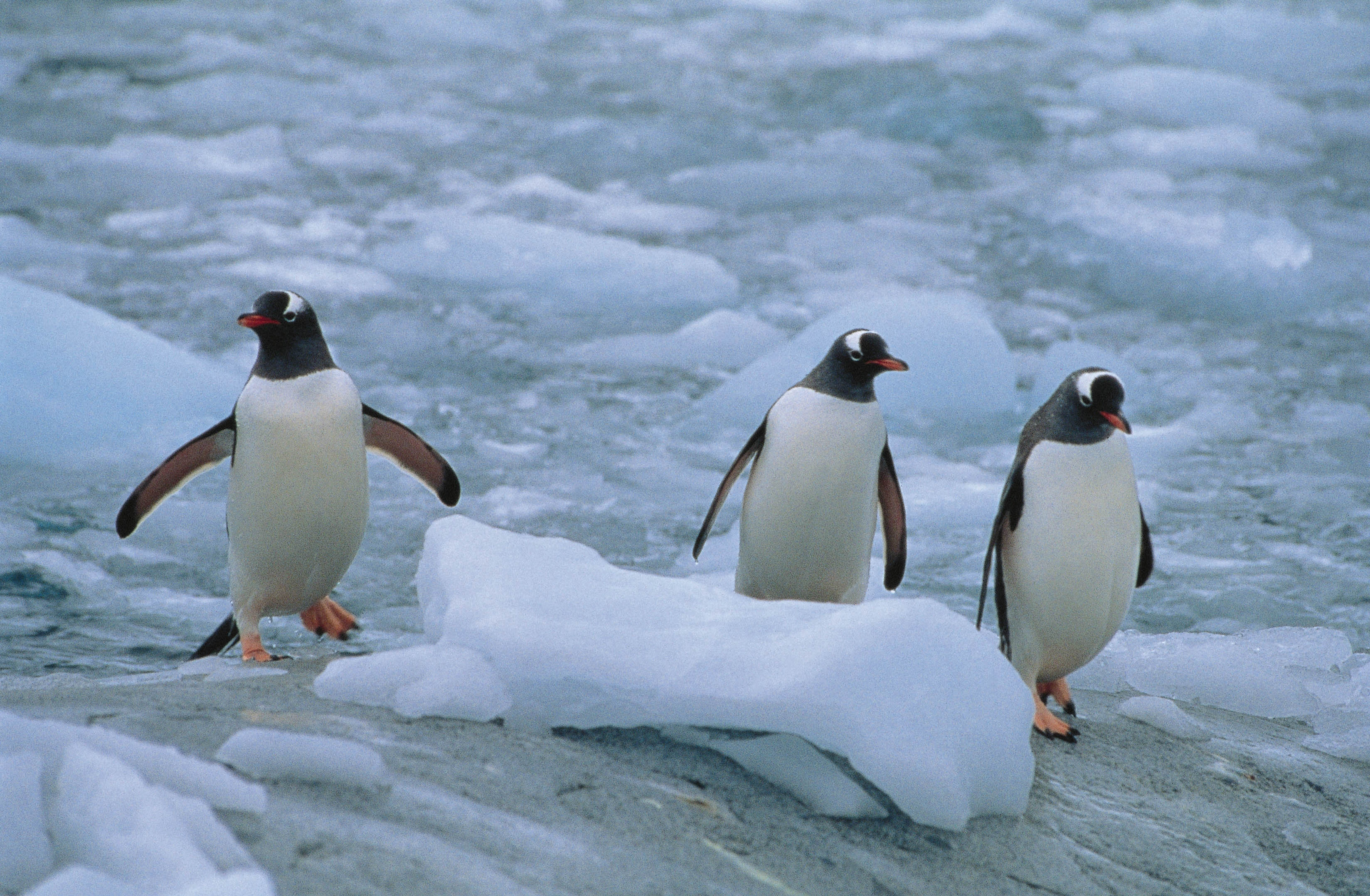 58064 download wallpaper Animals, Pinguins, Three, Linux, North screensavers and pictures for free