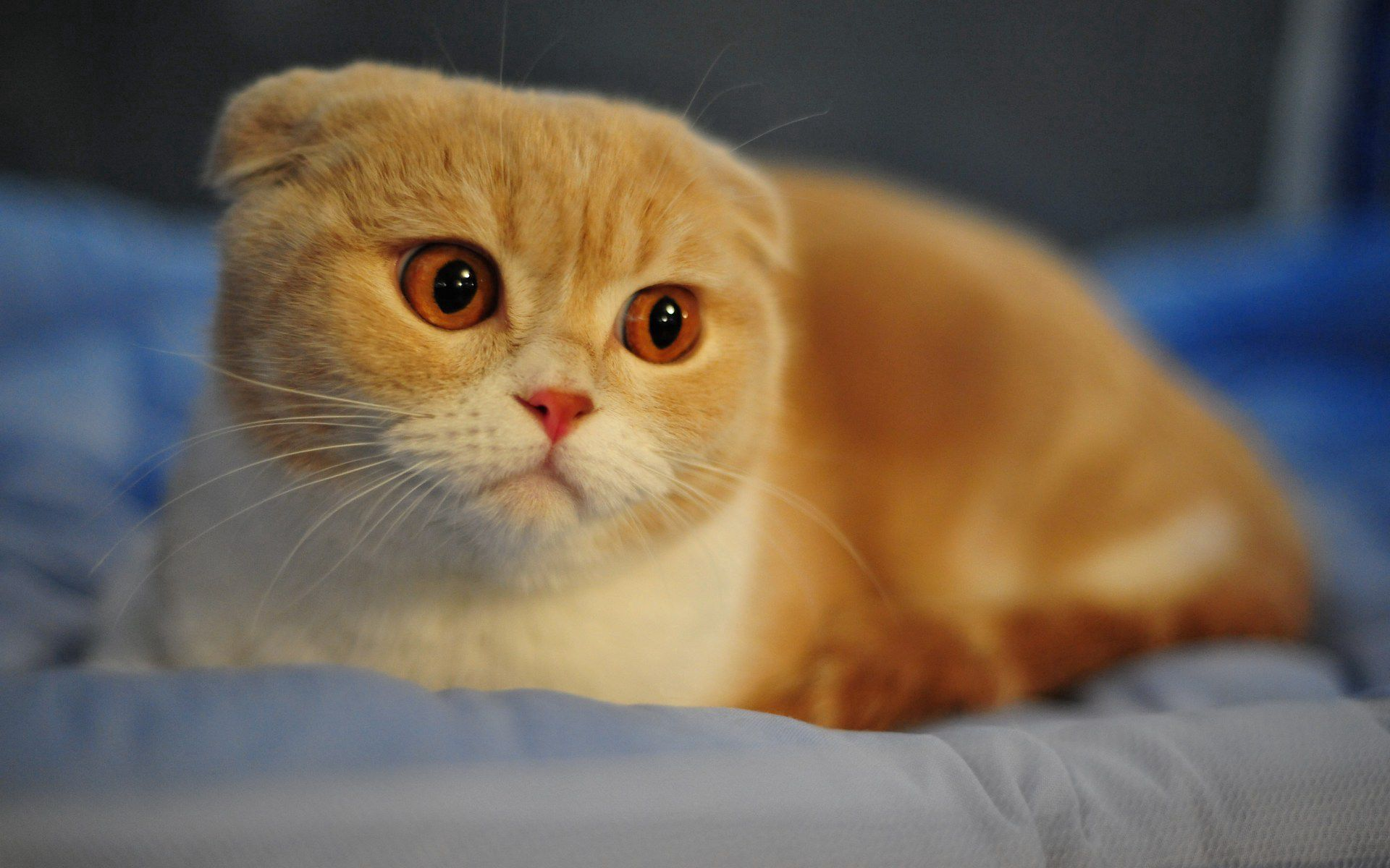 134946 download wallpaper Cat, Animals, Macro, Muzzle, Eyes, Ears, Breed, Nose, Face, Scottish Fold screensavers and pictures for free