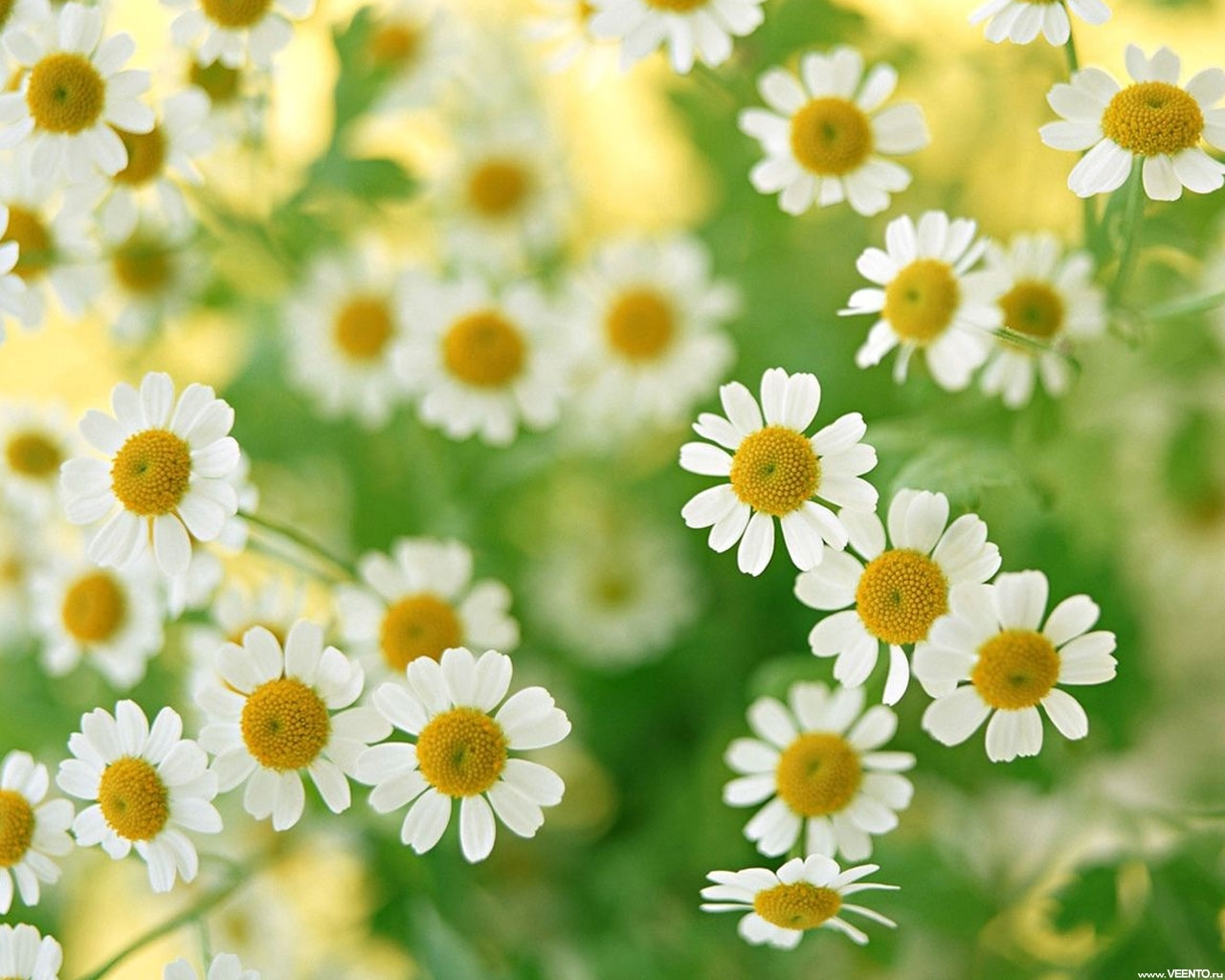 2941 download wallpaper Plants, Flowers, Background, Camomile screensavers and pictures for free