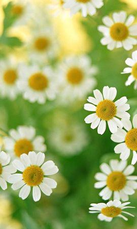 2941 скачать обои Растения, Цветы, Фон, Ромашки - заставки и картинки бесплатно