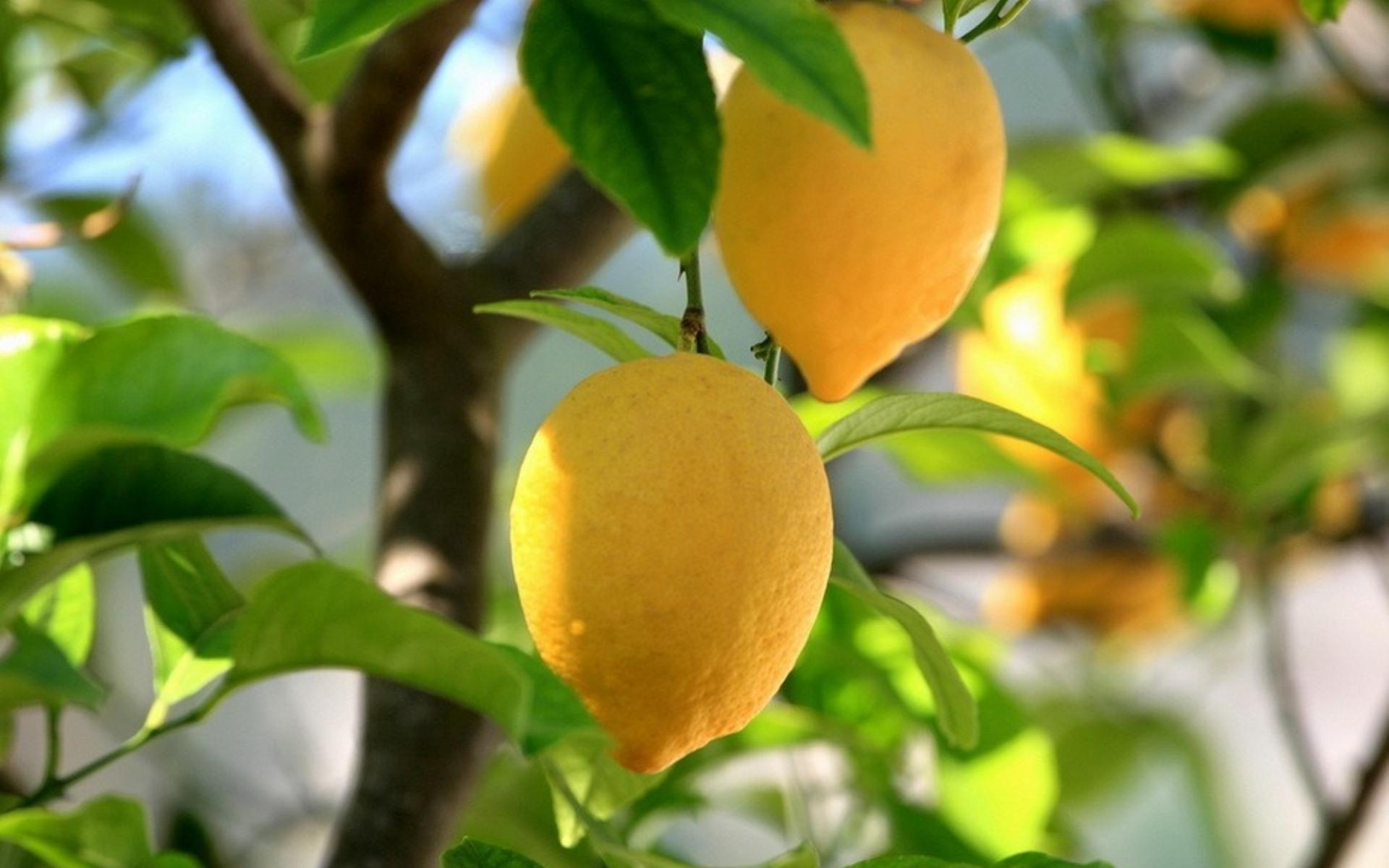 48741 Hintergrundbild herunterladen Pflanzen, Zitronen - Bildschirmschoner und Bilder kostenlos