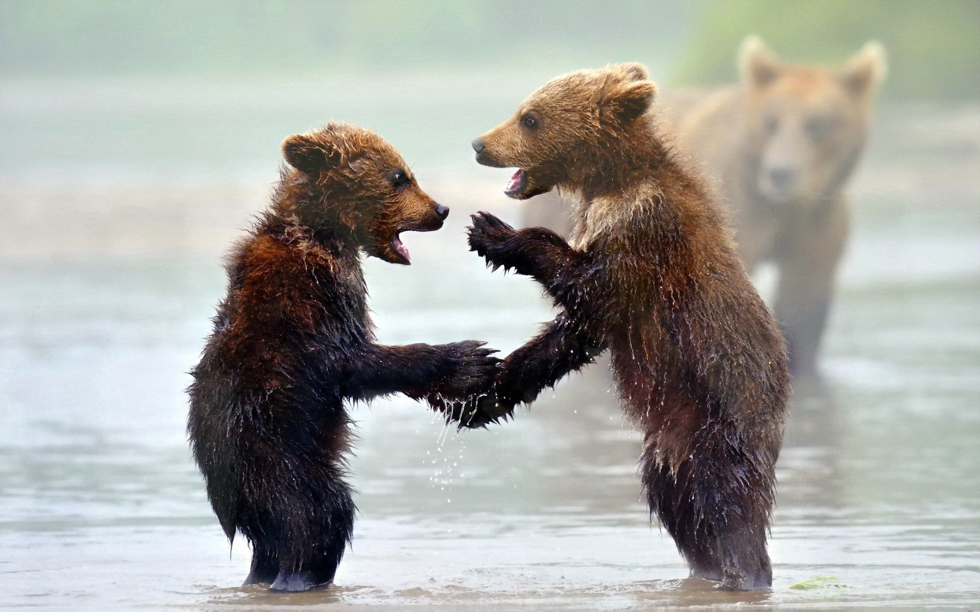 63201 Screensavers and Wallpapers Bears for phone. Download Animals, Water, Bears, Young, Fog, Cubs, Teddy Bears pictures for free