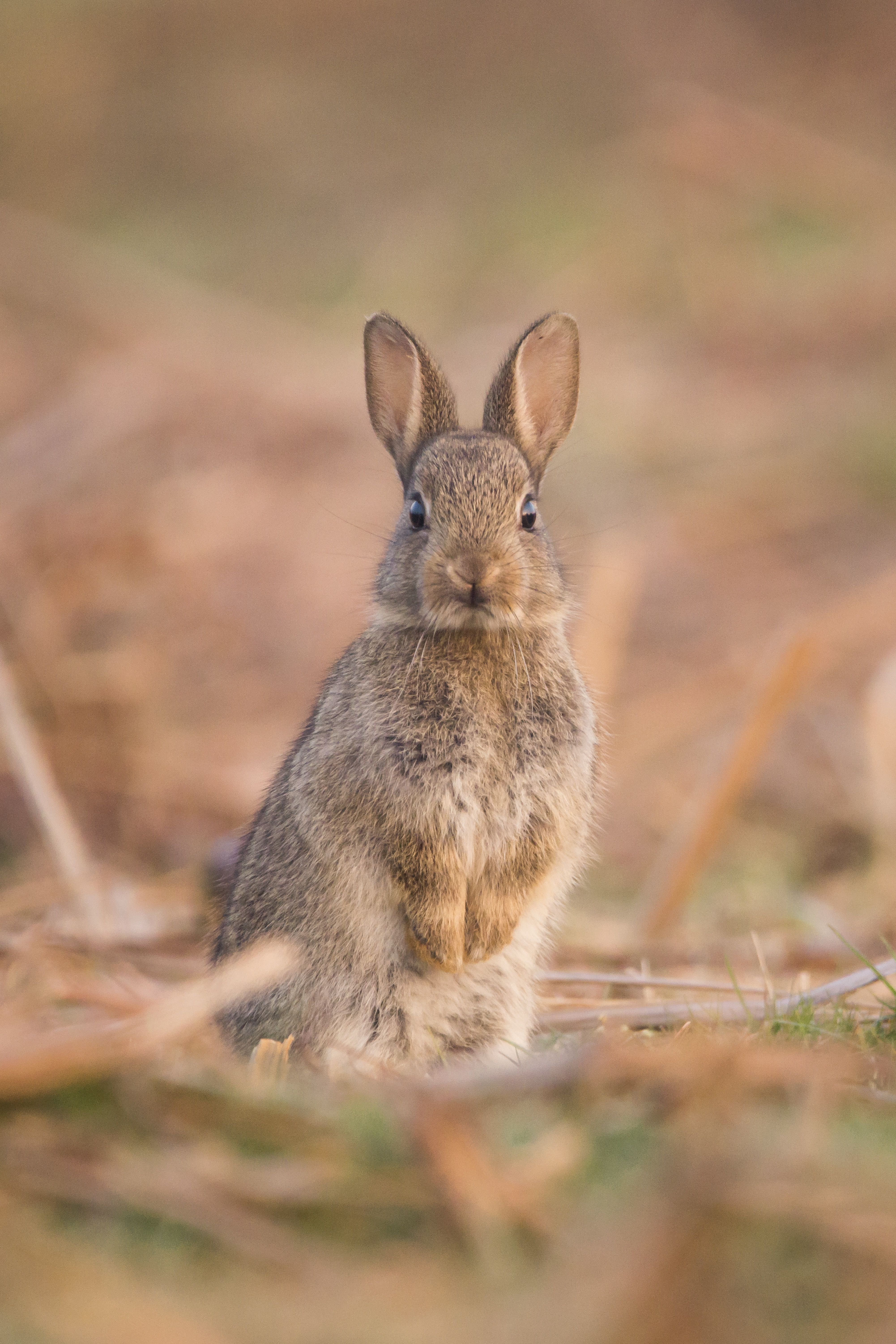 93384 download wallpaper Animals, Hare, Nice, Sweetheart, Funny, Animal, Wildlife screensavers and pictures for free