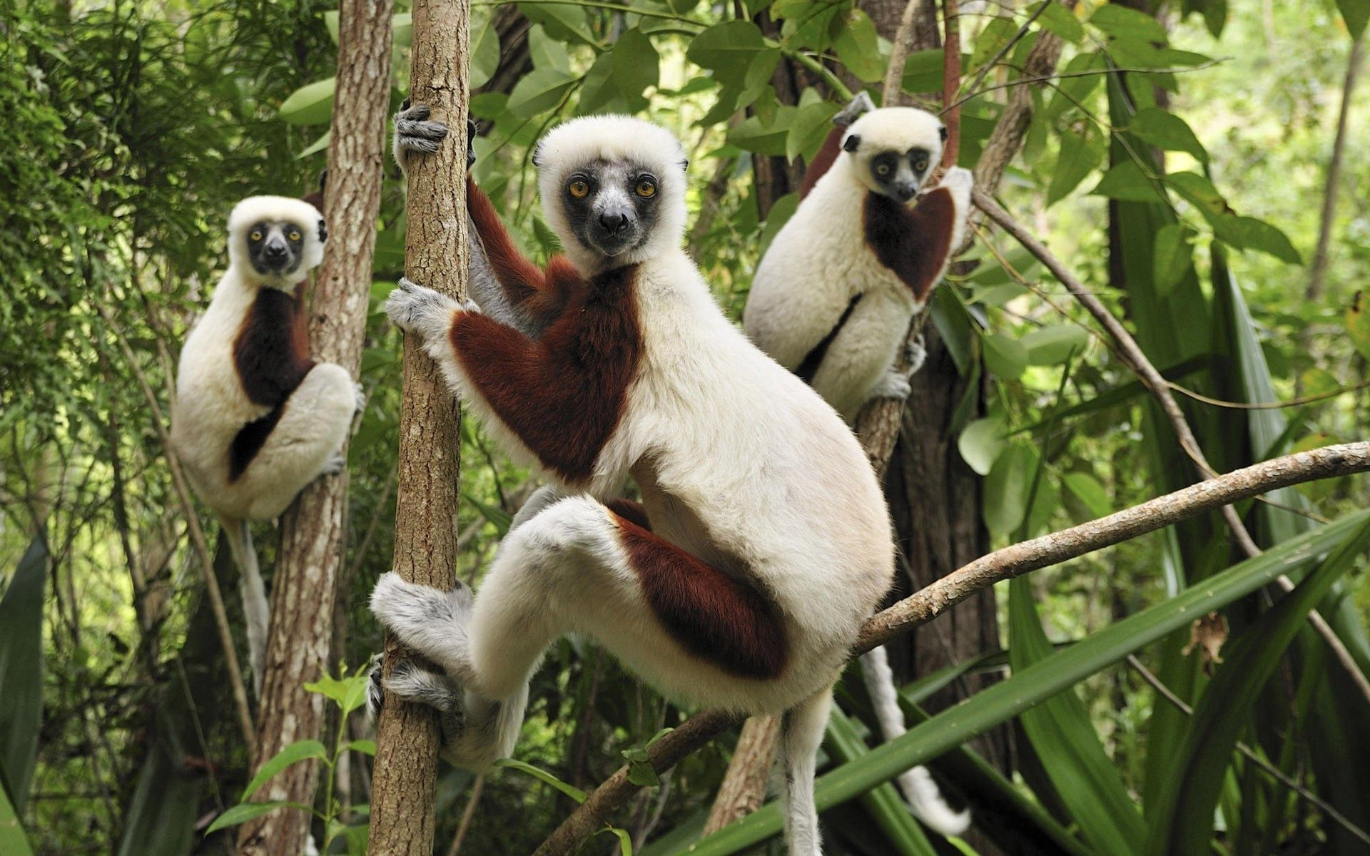 63428 Screensavers and Wallpapers Lemurs for phone. Download Animals, Lemurs, Branches, Climb, Three pictures for free