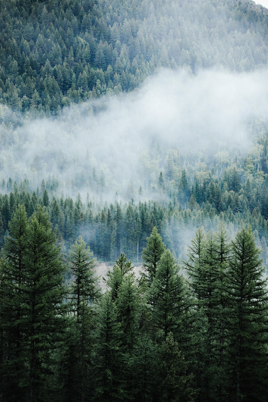 110066 скачать обои Природа, Лес, Деревья, Туман, Верхушки, Ели, Сосны - заставки и картинки бесплатно